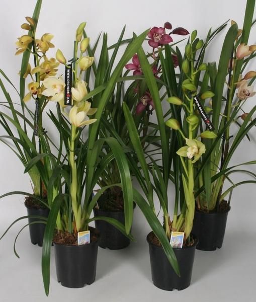 Комнатные свисающие цветы название 9