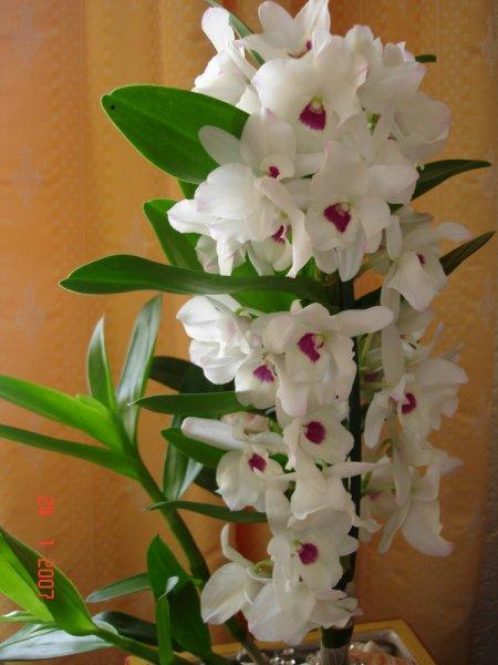 Виды орхидеи и уход в домашних условиях